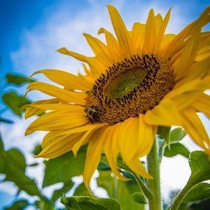 gold_sunflower